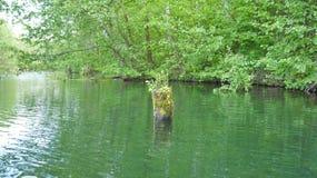 Ceppo con bosco giovane nel lago della foresta Fotografia Stock