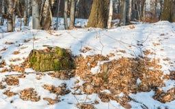 Ceppo coperto di muschio nella foresta nel giorno soleggiato di inverno Fotografia Stock