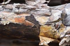 Ceppo del pino con la corteccia nella fine di legno su Fotografie Stock Libere da Diritti