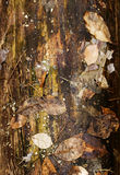 Ceppo del pino con la corteccia nella fine di legno su Immagine Stock