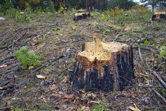 Ceppo dell'albero del taglio. Fotografia Stock
