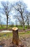 Ceppo dell'albero recentemente tagliato Fotografia Stock