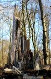 Ceppo dell'albero rotto immagine stock libera da diritti