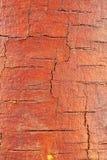 Ceppo della betulla con la corteccia pelata Fotografie Stock Libere da Diritti