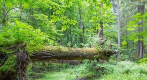 Ceppo della quercia che appende sopra la terra di estate Immagine Stock Libera da Diritti