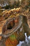 Ceppo di albero Immagini Stock
