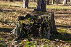 Ceppo di albero asciutto nella foresta Fotografie Stock Libere da Diritti