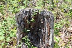 Ceppo di albero, decomposto, vegetazione, fondo vago, fuori immagini stock libere da diritti