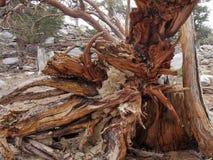 Ceppo di albero decomposto, Wyoming, U.S.A. immagine stock