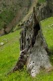 Ceppo di albero in foresta Immagine Stock Libera da Diritti