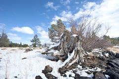Ceppo di albero innevato Fotografia Stock
