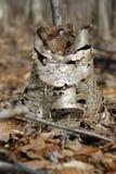 Ceppo di albero interrotto della betulla Fotografia Stock Libera da Diritti