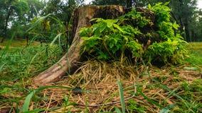 Ceppo di albero nella foresta fotografia stock