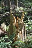 Ceppo di albero scheggiato, prerogativa di natura vuota di Conkles fotografie stock