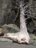 Ceppo di albero sulla spiaggia dell'oceano Fotografie Stock