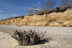 Ceppo di albero sulla spiaggia di Benacre, Suffolk, Inghilterra Immagine Stock