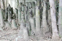 Ceppo di bambù fotografia stock
