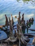 Ceppo di Cypress Fotografie Stock