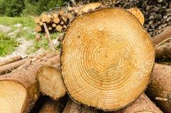 Ceppo di legno con gli anelli di crescita Immagine Stock Libera da Diritti