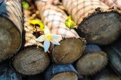 Ceppo di legno con il bello fiore bianco di colore e la foglia verde con la fine naturale di luce solare sull'immagine Immagini Stock Libere da Diritti