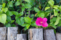 Ceppo di legno con il fiore rosa fotografie stock