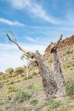 Ceppo di un albero morto del fremito su un pendio Fotografie Stock Libere da Diritti