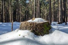 Ceppo nella neve Fotografie Stock