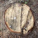 Ceppo nudo del pino nel legno Fotografia Stock Libera da Diritti