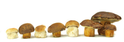 Ceps Royalty Free Stock Images