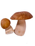Ceps Stock Photo