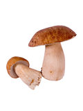 Ceps Royalty Free Stock Photo