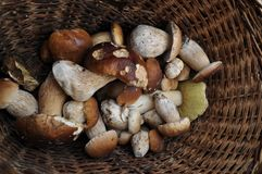 Ceps in a basket. Royalty Free Stock Images