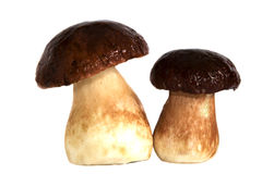 Ceps Royalty Free Stock Photography