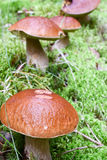 Ceps en el bosque Foto de archivo