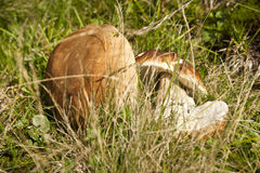 Ceps in a grass Royalty Free Stock Photos
