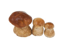 Ceps isolated Stock Image