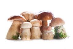 Ceps isolated Royalty Free Stock Photography