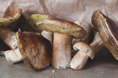 Ceps just cut in an oak forest Royalty Free Stock Photo