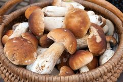 Ceps 2 Stock Images