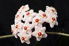 Cera de florescência da hera. Flores desgrenhado. Fotos de Stock Royalty Free