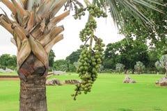 Cera de Raja Lipstick Sealing del árbol frutal de la palma, lápiz labial, rajá, planta ornamental del Maharajá en jardín en el fo Fotografía de archivo