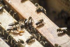 Cera del capítulo de madera de la colmena de la abeja de la miel Fotografía de archivo libre de regalías