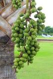 Cera di Raja Lipstick Sealing dell'albero da frutto della palma, rossetto, raja, pianta ornamentale di maragià in giardino su fon fotografia stock