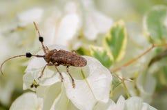 Cerambycidae del coleóptero Imágenes de archivo libres de regalías