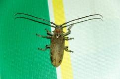 Cerambycidae El escarabajo de la barbilla fotos de archivo libres de regalías