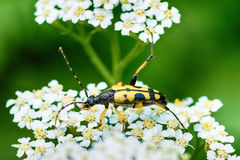 Cerambycidae from the group of hardwood insects Royalty Free Stock Photos