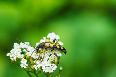 Cerambycidae from the group of hardwood insects Stock Images