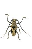 Cerambycidae , paraleprodera crucifera isolated Royalty Free Stock Photo