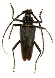 Cerambyx cerdo - Great capricorn beetle Royalty Free Stock Image