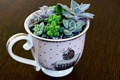 Ceramic Cup with soil and shoots of plants on a brown table Royalty Free Stock Image